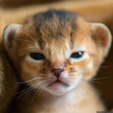angry-kitten